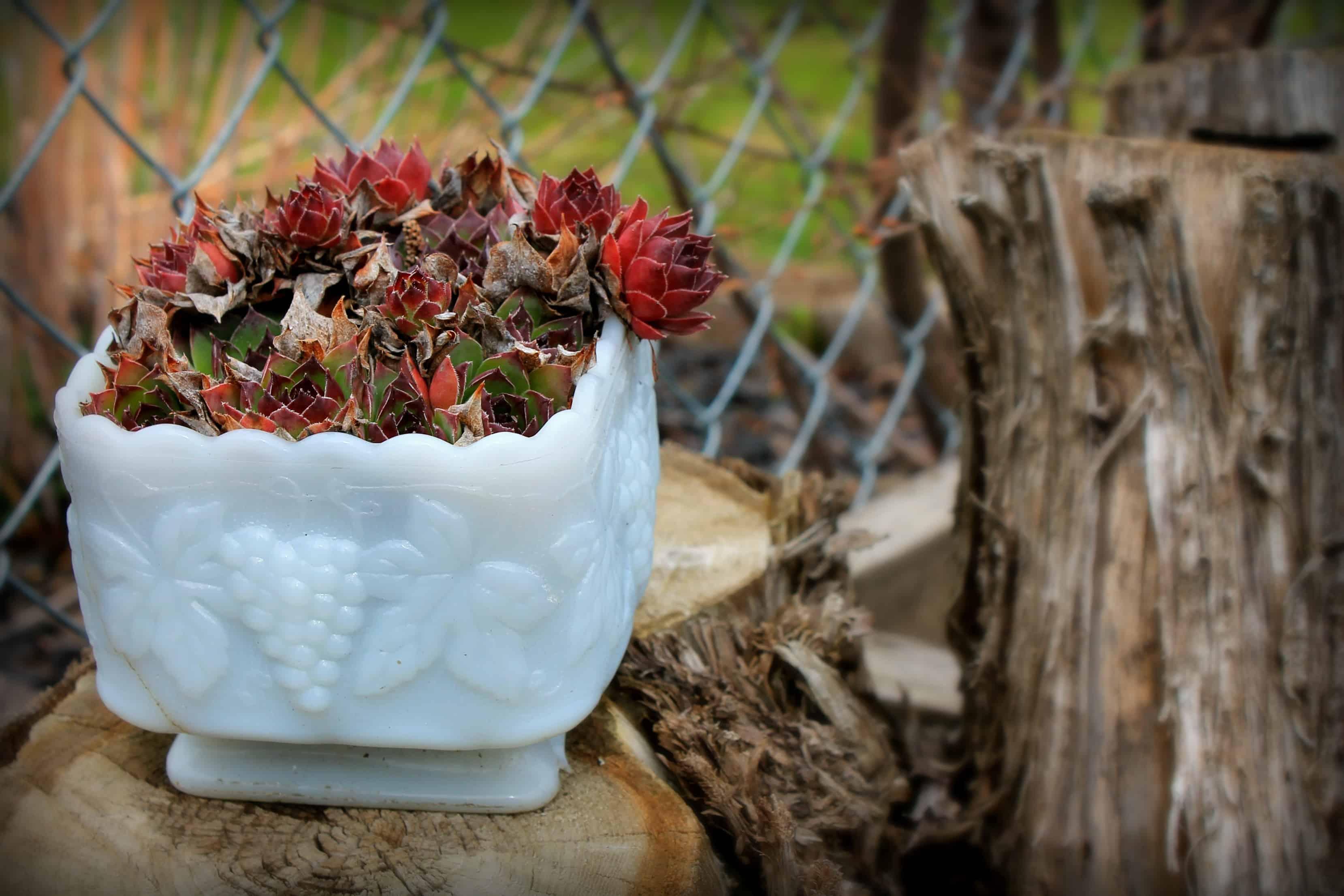 planter, hens and chicks, garden, spring garden