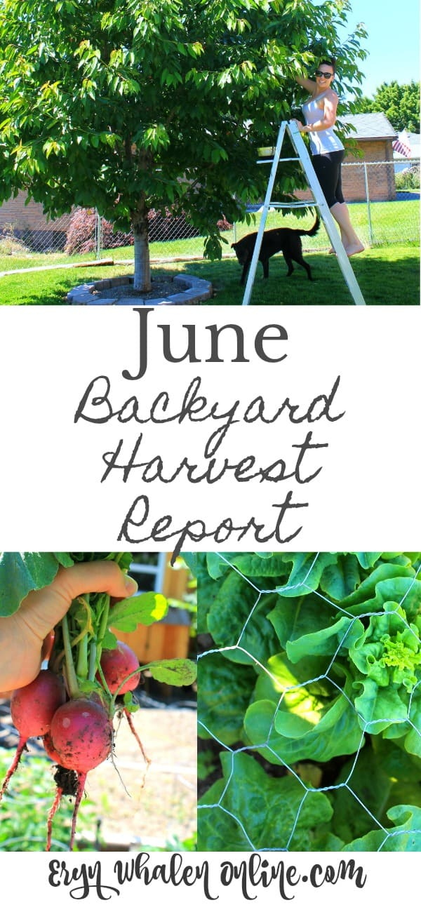 urban gardening, backyard garden, harvest, june harvest, zone 6, gardening,
