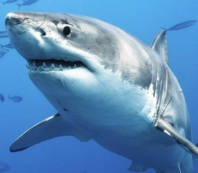 Shark Week 2017 Schedule & Live WebCam!!!!!