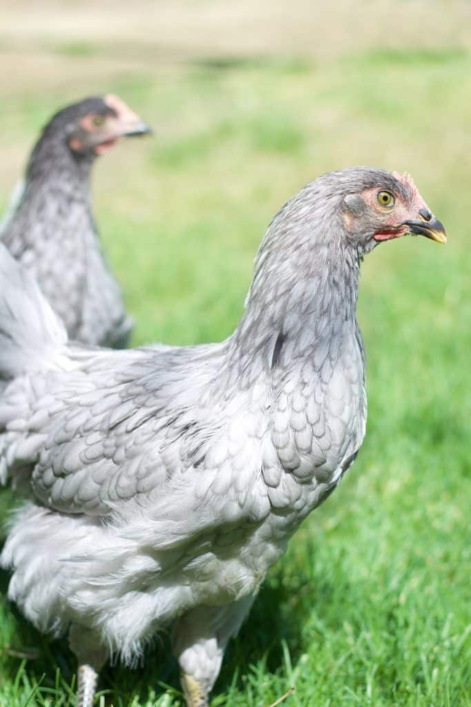 How to keep backyard chickens: Tips from a farm girl turned city dweller