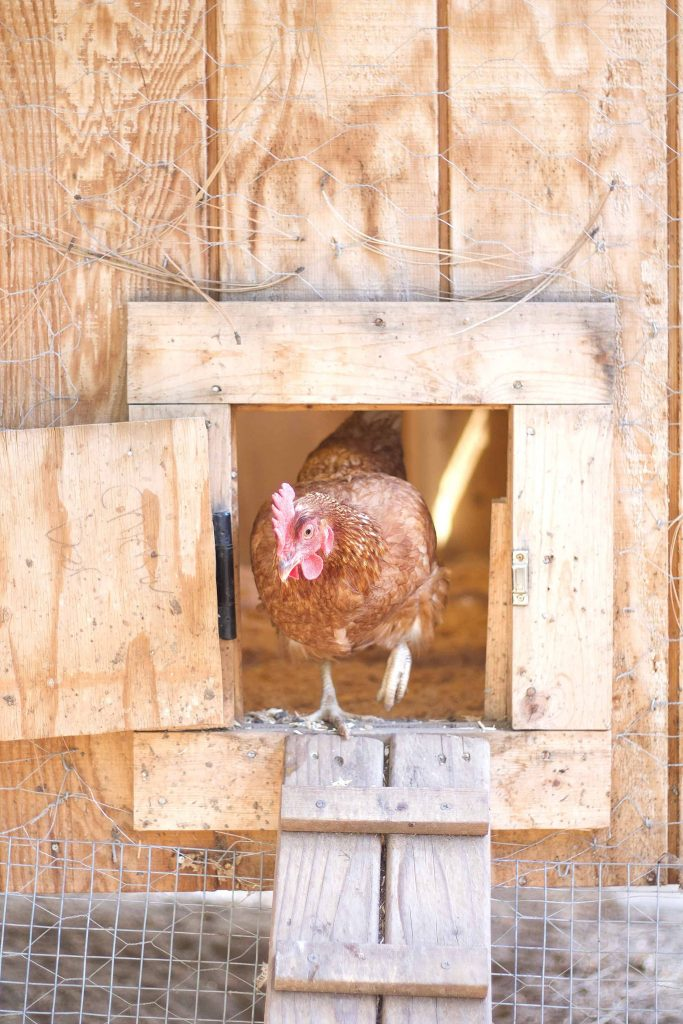 Here are some problem solving ideas and tips for chicken egg eater prevention. Chickens eat their own eggs for several different reasons. We cover them all.